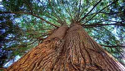 red-cedar-tree